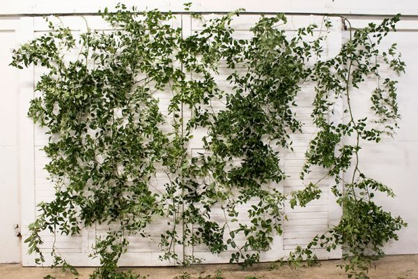 image of vines on a wall